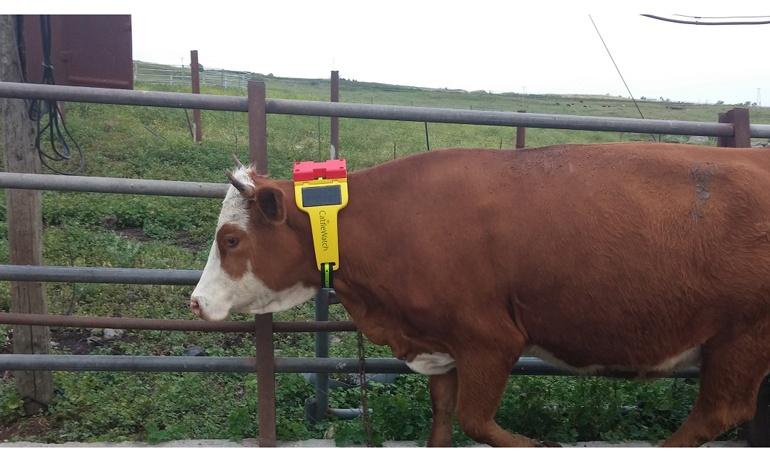 умные ошейники для коров